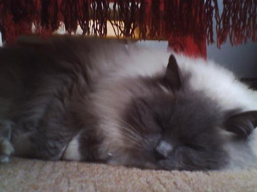 My blue mitted Ragdoll Aurora