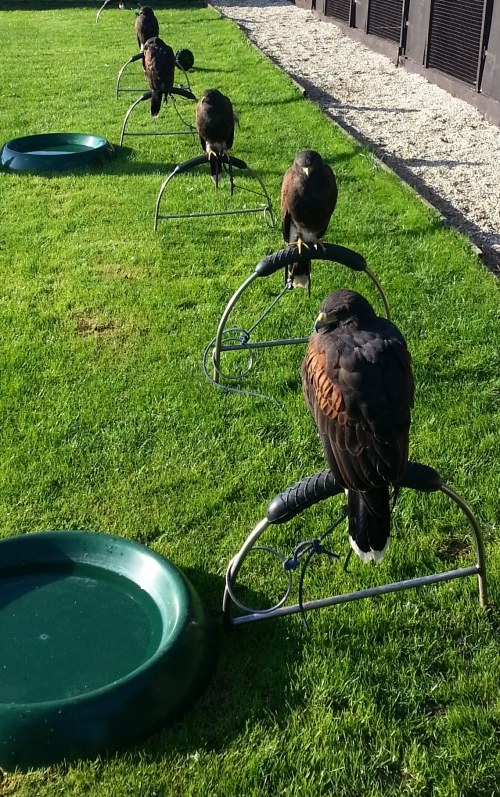 Some Harris Hawks enjoying the afternoon sunshine (even grumpy at the front)
